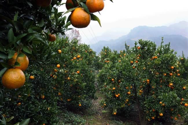 生物有机肥对脐橙生长的影响
