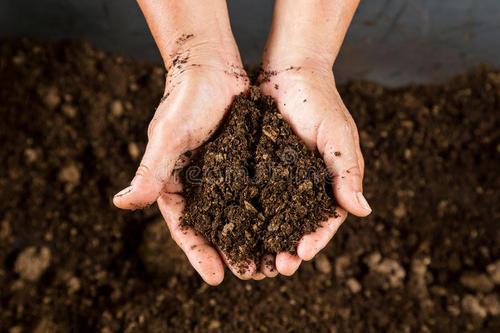 红香椿的改良施肥方案